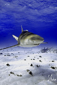 This image is of a Lemon Shark at Tiger Beach in the Baha... by Steven Anderson 